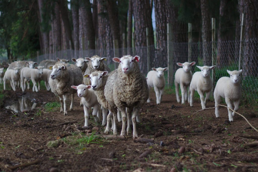 Blog post on free sheep photos
